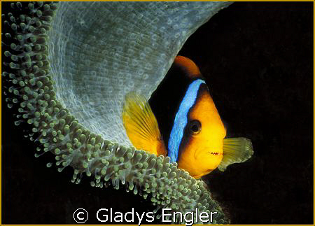 I discovered this colorful and cooperative clownfish whil... by Gladys Engler