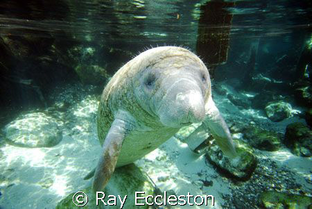 Manatee standing on his tail, taken at Crystal River FL. by Ray Eccleston