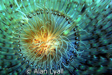 Tube dwelling anemone by Alan Lyall