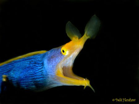 """""""Out of the Shadows""""  Blue Ribbon Eel by Debi Henshaw"""