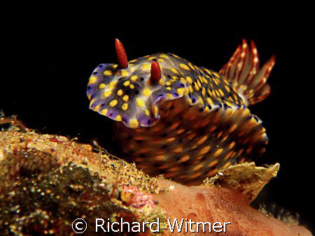 Hypselodoris infucata.  Canon G9/Ikelite DS160 Strobe/UCL... by Richard Witmer
