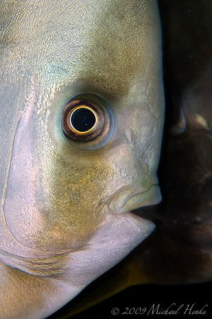 shadow - Tiera batfish (Platax teira) by Michael Henke