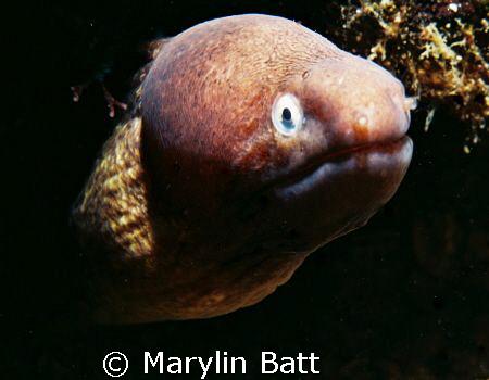 Small Morey Eel  Nikonos V with 1:2 macro framer by Marylin Batt