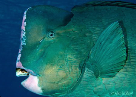 The infamous school of Bumphead Parrotfish came cruising ... by Debi Henshaw