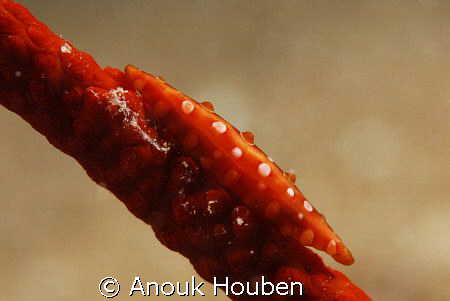 Spindle cowrie. Picture taken on the second reef off Nego... by Anouk Houben