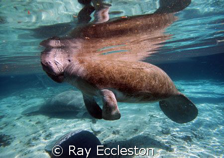 Manatee at Crystal River, camera Nikon D-200 by Ray Eccleston