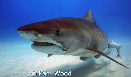 Hello Ms. Tiger Shark.  Wow, are you a big girl!  Check o... by Pam Wood