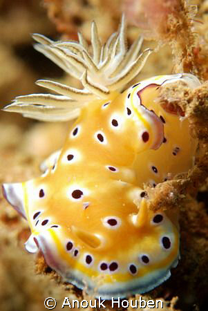 Chromodoris geminus. Picture taken on the second reef off... by Anouk Houben