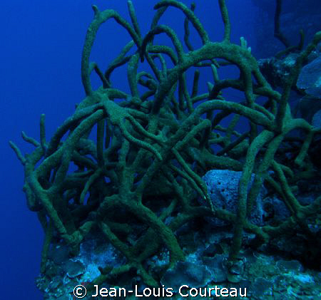 """""""Tangled Up In Blue""""      -A rope sponge bush on one of t... by Jean-Louis Courteau"""
