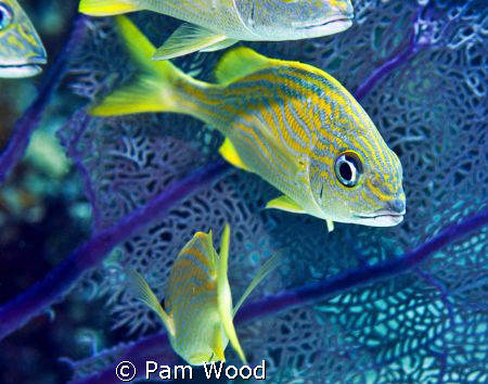 The French Grunt, one of the more cooperative fish on my ... by Pam Wood