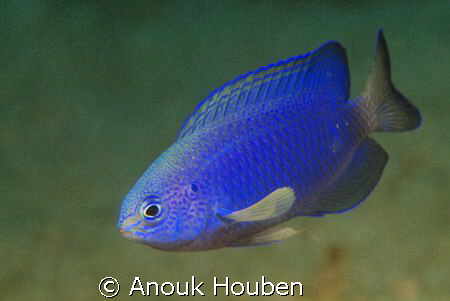 A small blue fish that maybe someone can help me identify... by Anouk Houben