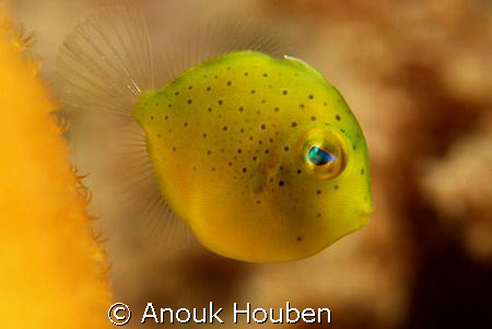 A tiny yellow cutie I'd never seen before. Picture taken... by Anouk Houben