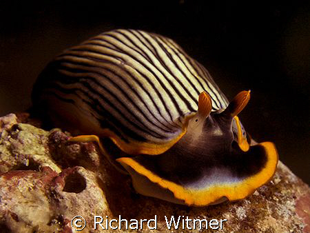 SMILE!  Armina Sp. G9/Ikelite DS160/UCL 165. by Richard Witmer