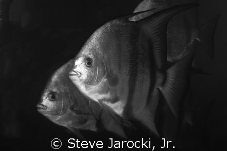 Atlantic Spadefish, common in South Florida.  Photo taken... by Steve Jarocki, Jr.