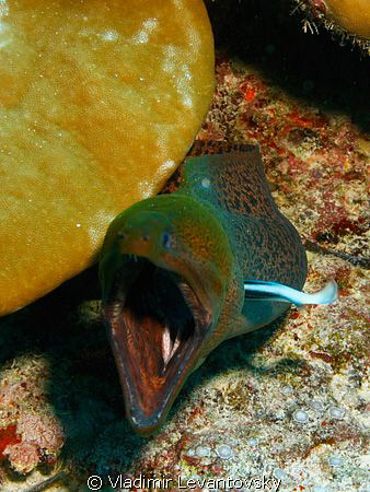 Screaming out loud! Giant moray eel getting his gills cle... by Vladimir Levantovsky
