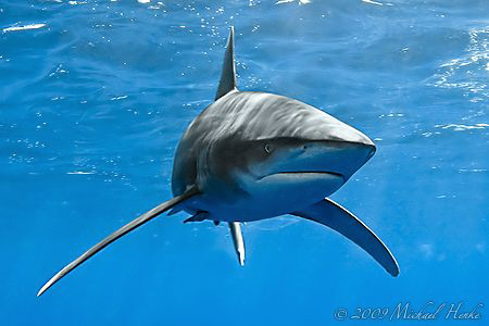 Oceanic Whitetip Shark - Deadalus Reef - Canon G7 by Michael Henke