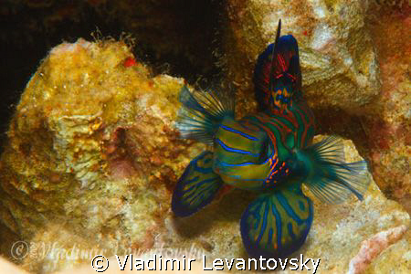 """I am bigger than you think!"" Male mandarin fishes are ve... by Vladimir Levantovsky"