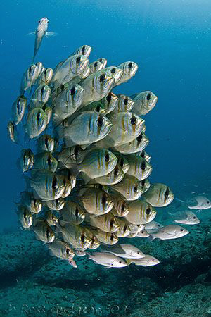 School of Threadfin Pearl Perch.  Ningaloo Reef, Western ... by Ross Gudgeon