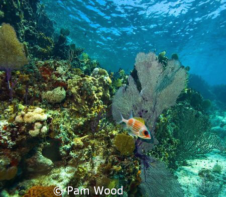 Squirrelfish in the Coral Sea.  Shot in Bimini, Bahamas. by Pam Wood