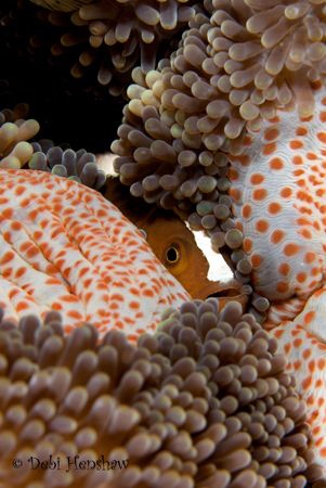 """Hiding"" Skunk Anemonefish hiding in its host anemone fro... by Debi Henshaw"