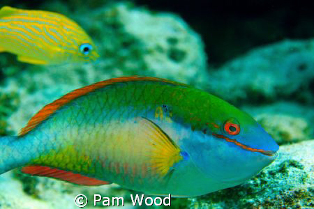 The Stoplight Parrotfish.  I think he's smiling at me? by Pam Wood