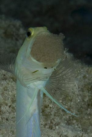 The male yellow headed jawfish gets a bum deal. He is stu... by Jon Kreider