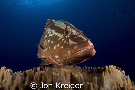 Say hello to Freddie the Nassau Grouper. by Jon Kreider