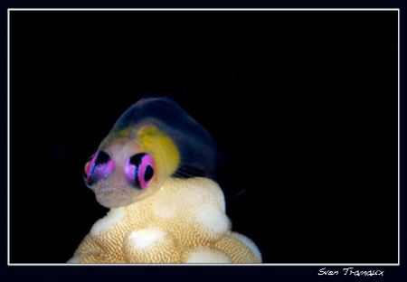 Redeye goby, a nicely coloured small fish by Sven Tramaux