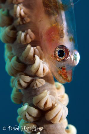 Whip Goby. 60mm +4 diopter. I wanted to achieve a blue ra... by Debi Henshaw