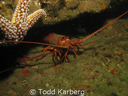 Spiny Lobster taken at the La Jolla Kelp Beds.  Shot with... by Todd Karberg
