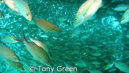Diving underneath a shoal of grunts on a wreck with sunli... by Tony Green