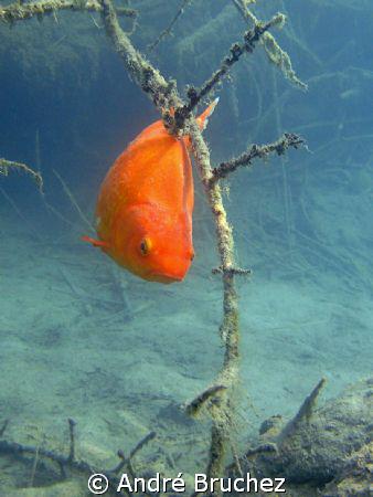 poisson rouge à l'étang de l'Epine by André Bruchez
