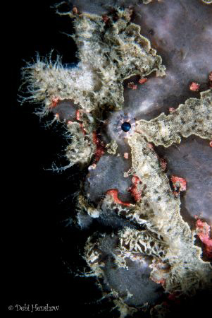 Painted Frogfish perched on one of the stanchions of DuCo... by Debi Henshaw