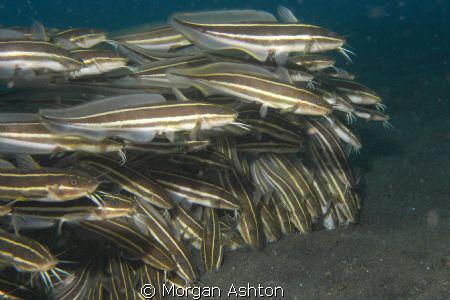 Cascading striped-eel catfish ball in Lembeh. by Morgan Ashton
