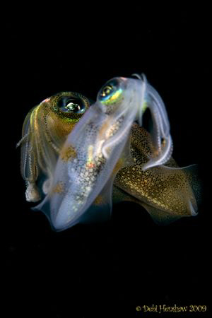 """Mirage"" Night Dive Squid No cropping :o) by Debi Henshaw"