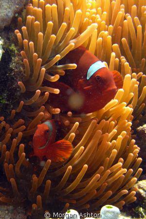 Tomato anemonefish near Siladen Island in Bunaken, Taken ... by Morgan Ashton