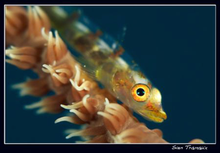 Whip coral goby (105 +3T) by Sven Tramaux