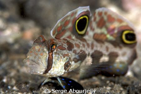Twin Spot Goby taken in Lembeh with 100mm and 1,5 Tele by Serge Abourjeily