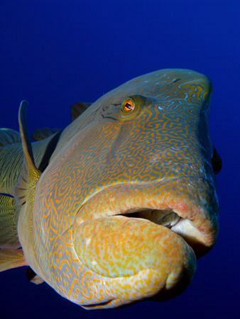 Very friendly and inquisitive Napoleon Wrasse that loved ... by James Dawson
