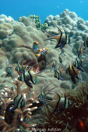 Banggai Cardinalfish in Lembeh. Taken with a Sea and Sea ... by Morgan Ashton