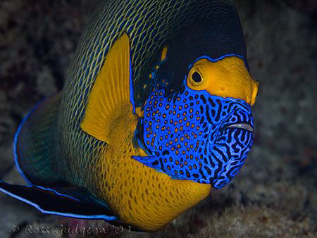 Blue-faced Angelfish.  Wakatobi, Sulawesi.  Canon 40D & C... by Ross Gudgeon