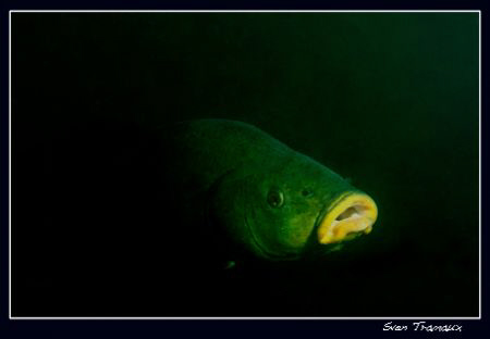 A tench showing up by Sven Tramaux