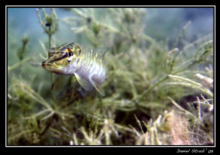 """Face to face with a young pike fish in """"le Duzillet"""". I l... by Daniel Strub"""