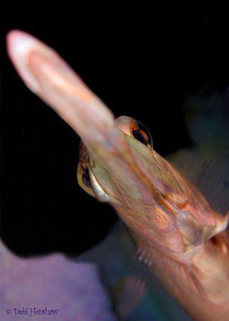"""Flyover"" Unusual angle of a Trumpetfish. No Cropping :o) by Debi Henshaw"