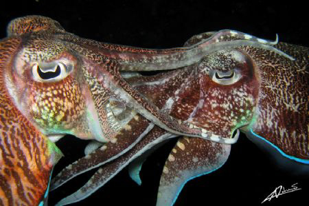 mating cuttlefish by Adriano Trapani