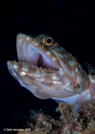 """""""Open Wide"""" Lizard fish caught yawning :o) by Debi Henshaw"""