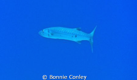 Barracuda seen in Grand Bahamas.  Photo taken May 2009 wi... by Bonnie Conley