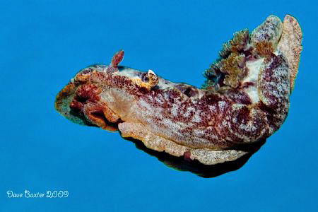 Spanish dancer -coral bay - by Dave Baxter