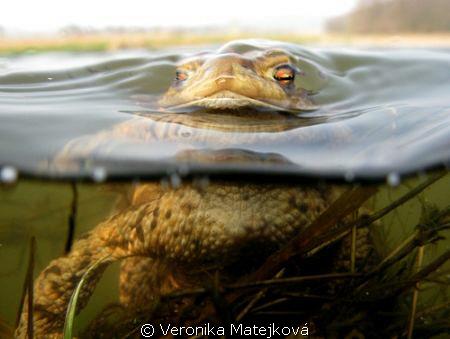 Curious frog by Veronika Matějková