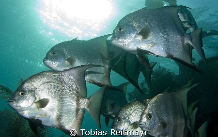 School of Spadefish passing by within seconds, Laguna Bea... by Tobias Reitmayr